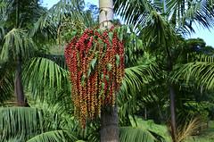 Luxo da natureza (Márcia Valle) Tags: nature natureza márciavalle nikon d5100 brasil brazil primavera springtime green verde mataatlântica palmeira palmtree