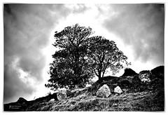 Trees - Murlough Bay, County Antrim, Northern Ireland UK (John Panneman Photography) Tags: kiln tree bw murloughbay countyantrim northernireland uk panneman d610 nikon murlough antrim ireland gameofthrones fx showcase nikonfxshowcase