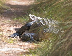 And so, our hike came to an abrupt end... (Goggla) Tags: florida stmarkswildliferefuge alligator wildlife