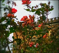 The roses and the castle 🌹 (color raimbow) Tags: redroses torns littlecastle hill tales legends architecture late autumn greenleaves italy