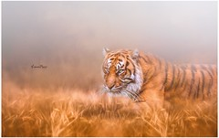The tiger will see you hundred times before you see it once ~Anonymous~ (Lorrainemorris) Tags: creativephotography textured lightroom photoshop photography sunlight grass fota light 70200gmastersony dublin lorrainemorris zeiss sony sony7rm2 fineart art painting wildlife tiger