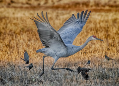 making a run (pstrock1) Tags: cranes goldenhour sandhills fly nature bird beauty light sky morning peacefull wild wildlife eyes sunlite wings spring