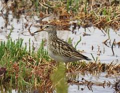 Calidris melanotus (newcbirds) Tags: stockton sandspit newcastle new south wales australia barry m ralley barrymralley