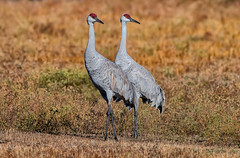 #NATURE (pstrock1) Tags: cranes goldenhour sandhills fly nature bird beauty look light sky looking wild wildlife eyes sunlite morning wings