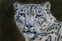 #NATURE (pstrock1) Tags: female morning wild wildlife nature eyes beauty thelook snowlepard zoo sunlite