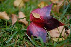 Two Of (Erich Schieber) Tags: botany autumn macro fall leaves bokeh australia