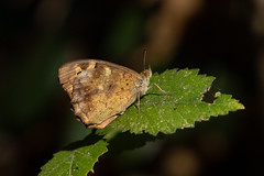 Pararge aegeria ssp. aegeria (Speckled Wood) - Nymphalidae - S'Albufera Natural Park, Mallorca, Spain-2 (Nature21290) Tags: lepidoptera mallorca mallorca2019 nymphalidae pararge parargeaegeria parargeaegeriasspaegeria salbuferanaturalpark satyrinae spain speckledwood insect