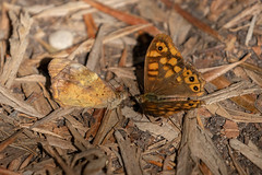 Pararge aegeria ssp. aegeria (Speckled Wood) - Nymphalidae - S'Albufera Natural Park, Mallorca, Spain-3 (Nature21290) Tags: august2019 lepidoptera mallorca mallorca2019 nymphalidae pararge parargeaegeria parargeaegeriasspaegeria salbuferanaturalpark satyrinae spain speckledwood insect
