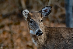 2019.12.14.8863 Front-Yard Deer (Brunswick Forge) Tags: 2019 virginia animal animals animalportraits nature wildlife nikkor200500mm nikond500 nikkor14xextender autumn botetourtcounty day woods evening afternoon tree trees forest outdoor outdoors grouped