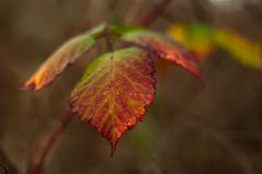 wintercolour (ecstaticist - evanleeson.com) Tags: leaves winter blackberry 50mm shallow dof nature
