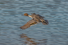 #NATURE (pstrock1) Tags: wings pintail fly nature water beauty look light sky morning wild wildlife eyes sunlite bird ducks field