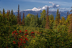 Let Me Not Make Waste of Time as I Move Amongst the Mountains (Denali State & National Parks) (thor_mark ) Tags: clouds canvas blueskies alaskarange cloudsaroundmountains azimuth283 cloudsaroundmountainpeaks alaskayukonranges bluesskieswithclouds alaska2019 landscape evergreens denali day6 evergreentrees denalistatepark freeversepoetry colorefexpro cloudsinvalley hayesrange littlecoalcreektrail hiddeninclouds hillsideoftrees imagecapturewitharsenal dxophotolab3edited mountains nature outside mountainside portfolio partlycloudy mountainpeak project365 poetryandprose rollinghillsides lookingwnw mountainsindistance nikond800e mountainsoffindistance poemsused trees alaska unitedstates sunny snowcapped wildflowers talltrees snowonfaroffmountainpeaks talltreesallaround westcentralalaskarange witharsenal