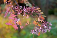 Autumn Berries (Erich Schieber) Tags: botany autumn plants macro fall bokeh australia
