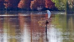 Autumn (WalrusTexas) Tags: greategret ardeaalba polishingpond fallcolors autumn reflection water pond ripples tree bird backlit ef100400mmf4556lisusm rhythmhues
