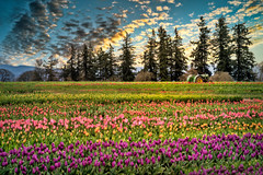 Tulip Fields (larwbuck) Tags: oregon clouds composite country evening field flowers mountains outdoors rural spring sunset tractor travel trees tulips