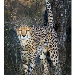 Acinonyx jubatus (Robyn Hooz) Tags: cheetah ghepardo felino carnivoro predatore savana sudafrica safari nature wild southafrica