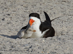 Black Skimmer and newly hatched chick (Lebowitz Photography) Tags: birds black skimmer chicks beach