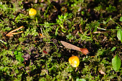 Butter waxcaps (Dave_A_2007) Tags: butterwaxcap fungus mushroom nature waxcap wolverhampton westmidlandscombinedauthority england