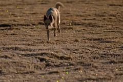 bokeh miracle (atoxtavato) Tags: dog explore lights bokeh natur nature