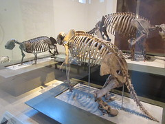 IMG_2673 (Brechtbug) Tags: 2019 prehistoric sloth other type skeletons hanging american museum natural history 79th street central park west new york city statue president sculpture african native indian nyc 12152019 bone bones skeleton prehistory