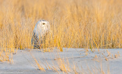 In hiding...snowy owl - Long Island, New York (superpugger) Tags: longisland beach winter wind waves grass shore newyorkstateinwinter winterweather outdoors nature sunset owl irruption arctic arcticwildlife wildlife owls snowyowl winterbirds newyorkstatewildlife longislandwildlife birds birding bird animal hiding lpugliares canon