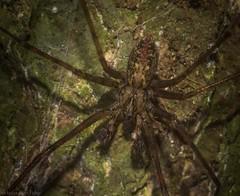 Stiphidion adornatum (dustaway) Tags: arthropoda arachnida araneae araneomorphae stiphidiidae stiphidionadornatum australianspiders tamborinemountain sequeensland queensland australia australianwildlife spinne