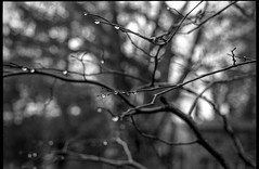into the branches, raindrops, backlit, Asheville, NC, Minolta XG-M, Super Albinon 28mm f/2.8, Derev Pan 400, HC-110 developer, 12.14.19 (steve aimone) Tags: branches raindrops backlit rain asheville northcarolina minoltaxgm superalbinon28mmf28 primelens derevpan400 hc110developer blackandwhite monochrome monochromatic 35mm 35mmfilm film analog