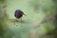 Green Heron (ap0013) Tags: heron bird nature animal wildlife florida lakeland circleb barreserve greenheron green