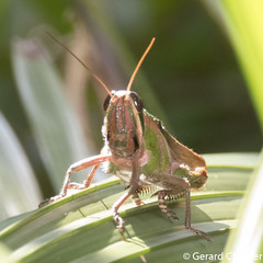 Spur-throated Grasshopper (Cyrtacanthacridinae)