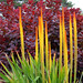 Giant red hot poker.  Growing 6 to 7 feet tall, this is a spectacular accent plant.