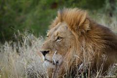 Reminiscing (leendert3) Tags: leonmolenaar southafrica krugernationalpark wildlife wilderness wildanimal nature naturereserve naturalhabitat mammal africanlion ngc npc