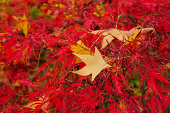 Colour (Erich Schieber) Tags: australia autumn fall leaves plants macro bokeh red yellow