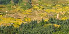 _Y2U4358-60.1.0919.San Sả Hồ.Sapa.Lào Cai (hoanglongphoto) Tags: asia asian vietnam northvietnam northernvietnam landscape scenery vietnamlandscape vietnamscenery terraces terracedfields terracedfieldsinvietnam morning morningsunshine sunny sunlight harvest seasonharvest canon canoneos5dsr canonef70200mmf28lisiiusm làocai ruộngbậcthang buổisáng nắng nắngsớm lúachín mùagặt house ngôinhà manyhouses nhữngngôinhà northwestvietnam tâybắc sapa sansảhồ theforest forest rừng ruộngbậcthangsapa sapamùagặt sapamùalúachín phongcảnhsapa 1x2 imagesize1x2 hoanglongphoto flickrhoanglong