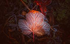 frost leaf (Dhina A) Tags: sony a7rii ilce7rm2 a7r2 a7r smc pentax m 50mm f17 pentaxm50mmf17 bokeh manual kmount legend manualfocus winter frost frozen leaf