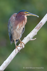 A Perched Green Heron With Feathers In Its Beak After Preening (brucefinocchio) Tags: greenheron withfeathersinitsbeak feathersinbeak afterpreening prechedgreenheron butoridesvirescens maquenqueecologicallodge caribbeanlowlands costarica