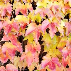 Boston Ivy (Parthenocissus tricuspidata), Santa Clarita, CA (Ted Truex) Tags: bostonivy colors fallcolor parthenocissustricuspidata seasons tedtruex yellow yellowleaves autumcolors autumn red redleaves