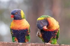 Itch! (TonyinAus) Tags: bird australia australianfauna australianbirds parrotts lorikeets