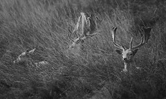Hiding in the Long Grass (andy_AHG) Tags: wildlife winter stag fallowdeerbuck antlers animals nikond300s yorkshire