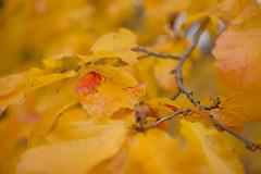Mostly Yellow (Erich Schieber) Tags: australia autumn fall leaves bokeh macro