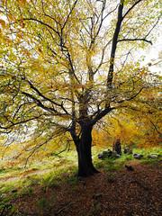 FB025962 E-M5ii 7mm iso200 f5.6 1_25s 0.7 (Mel Stephens) Tags: 20191102 201911 2019 q4 tall 3x4 olympus omd em5ii ii microfourthirds m43 mft mirrorless mzuiko 714mm pro gps truecolor uk scotland aberdeenshire tollohill woods plant plants nature flora tree trees autumn