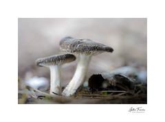 Curious Couple (g.femenias) Tags: mushrooms fungi pinewoods nature naturallight macro macrophotography pinardenroca bonany petra mallorca