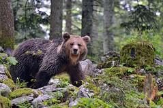 Orso bruno 016 (Rolando CRINITI) Tags: orsobruno mammiferi plantigradi orsi foresta slovenia natura
