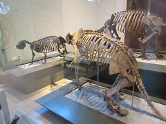 IMG_2672 (Brechtbug) Tags: 2019 prehistoric sloth other type skeletons hanging american museum natural history 79th street central park west new york city statue president sculpture african native indian nyc 12152019 bone bones skeleton prehistory