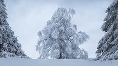 Winter Dress (Pascal Riemann) Tags: schnee baumgruppe baum winter kahlerasten sauerland pflanze landschaft deutschland natur winterberg germany landscape nature outdoor snow plant