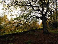 FB025977 E-M5ii 7mm iso200 f5.6 1_25s 0.7 (Mel Stephens) Tags: 2019 q4 20191102 wide olympus ii pro gps omd m43 mft 4x3 714mm mirrorless microfourthirds mzuiko em5ii uk trees plants plant tree nature scotland woods flora aberdeenshire truecolor tollohill 201911