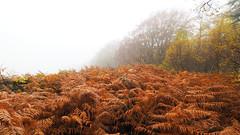 FB025873 E-M5ii 7mm iso200 f5.6 1_60s 1.3 (Mel Stephens) Tags: 20191102 201911 2019 q4 widescreen wide 16x9 olympus omd em5ii ii microfourthirds m43 mft mirrorless mzuiko 714mm pro gps truecolor uk scotland aberdeenshire tollohill woods plant plants nature flora landscape autumn
