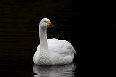 Bewick's Swan (Tim Melling) Tags: bewicks cygnus columbianus bewickii swan timmelling