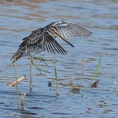 Incoming Snipe! . . . . . #snipe #birds_captures #bird_photography #birdsofinstagram #birdphotography #ukwildlife #nuts_about_birds #1birdshot #birds_brilliance #planetbirds #anythingfeathered #gardenbirds #ig_birdwatchers #bb_of_ig #birdlovers #birdingph (Bensmith007) Tags: instagram ifttt