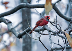 This male Cardinal was trying to hide, but, I spotted him and now he's famous. (tonj1199) Tags: raining rainy red bird cardinals
