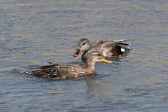 Gadwall (Bryan Wright Wildlife Images) Tags: bird birds nikon nature waterfowl duck ducks gadwall anasstrepera suffolkwildlifetrust swt swtlackfordlakes lackfordlakes